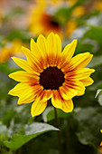 Helianthus annuus SunBelievable™ 'Brown Eyed Girl'