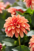 Dahlia Labella® 'Grande Orange Bicolour'