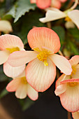 Begonia Waterfalls 'Angel Soft Orange'