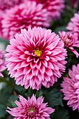 Dahlia Labella ® 'Maggiore Deep Rose'