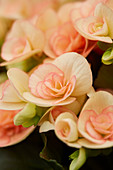 Begonia hiemalis 'Nicole Stone'