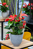 Anthurium 'Red Bull'