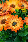 Osteospermum 'Margarita Orange Flare'