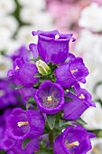 Campanula medium 'Appeal Blue'