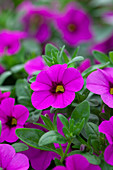 Calibrachoa 'Cabrio Pink with Dark Eye'