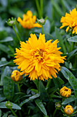 Coreopsis grandiflora 'Double The Sun'