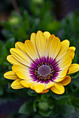 Osteospermum 'Serenity Blue Eyed Beauty'
