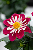 Dahlia Labella® 'Medio Fun Purple Fun Improved'