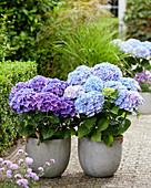 Hydrangea macrophylla Multi-Double by Magical® 'Pump Up The Blue', 'Purple Blue Fiction'