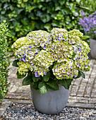 Hortensie mehrfarbig blau