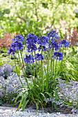 Agapanthus 'Blue Thunder'