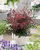 Nandina domestica 'Obsessed Curly'