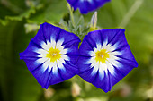 Convolvulus tricolor 'Royal Ensign'