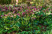 Blühende Lenzrosen im Frühling