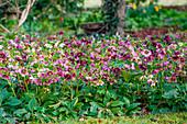 Beet mit blühenden Lenzrosen
