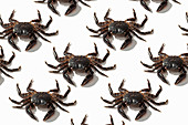 Brown crabs on white background