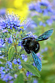 Holzbiene an Blüten der Bartblume