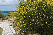 Blühender Salzmanns Ginster auf Sardinien