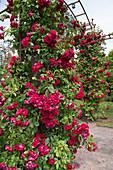 Rote Kletterrose am Rosenbogen