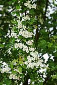 Blühender Weißdorn