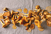 Forest chanterelle mushrooms, raw uncooked, with yellow autumn leaves