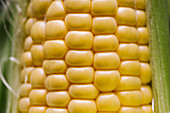 Closeup textured background of yellow kernels of ripe sweet corn