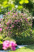 Ramblerrose 'Raubritter' im Knotengarten