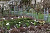 Vorfrühling im Bauerngarten mit Narzissen