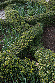 Knotengarten mit japanischer Hülse im Vorfrühling