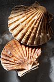 Fresh scallops