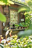 Töpfe mit Funkien am Gartenhaus