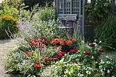 Rot weißes Beet am Gartenhaus: Dahlien, Zinnien, Zauberschnee, Gräser, Sommerflieder und Blauraute