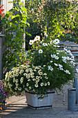 Schmuckkörbchen und Petunie Beautical 'French Vanilla' im weißen Holzkübel