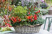 Korb mit Chili-Pflanzen, Blutampfer und Tripmadam
