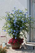 Blühende Bleiwurz unterpflanzt mit Zauberglöckchen