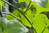 Blüten-Makro von Chayote-Pflanze