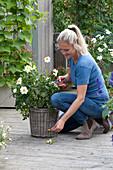 Frau entfernt verblühte Blüten von Mignon-Dahlie 'Sneezy'