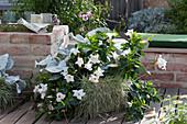 Grau-weiße Kombination mit Mandevilla 'Rio White', Kreuzkraut 'Angel Wings' und Honiggras
