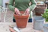 Mignon-Dahlie 'Sneezy' in Tontopf einpflanzen, Dahlien-Knolle auf die Erde legen