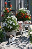 Terrasse mit Sommerblumen : Schmuckkörbchen, Kapuzinerkresse und Dahlien, Hund Zula