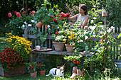 Topf-Arrangement am Gartenzaun mit Sonnenbraut, Chili-Pflanzen und Tomate, Beet mit Dahlien und Prunkwinde, Frau schneidet Blüten, Hund Zula