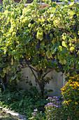 Weinstock Weintrauben 'Muscat Bleu'