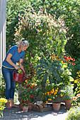 Frau gießt Kasten mit Quamoclit, Scheinsonnenhut, Grünkohl, Chili und Kapuzinerkresse, Töpfe mit Chilipflanzen und Salbei