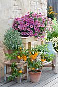 Petunie Beautical 'Sunray Pink', Salbei und Chili 'Frontera Sweet'