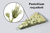 Penicillium fungus and Roquefort cheese, composite image
