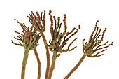 Penicillium roqueforti fungus, illustration