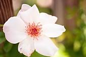 Rose (Rosa 'Anne-Aymone Giscard d'Estaing') flower