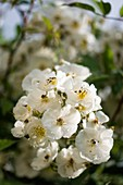 Rose (Rosa 'Darlow's Enigma') flowers