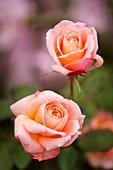 Rose (Rosa 'Mrs Dudley Cross')