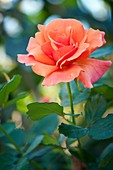 Rose (Rosa 'Easy Does It')